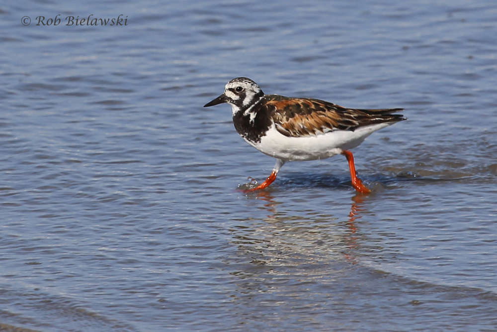 Still showing some breeding colors, this Ruddy Turnstone is starting its molting period and will lose some of its brightness soon.