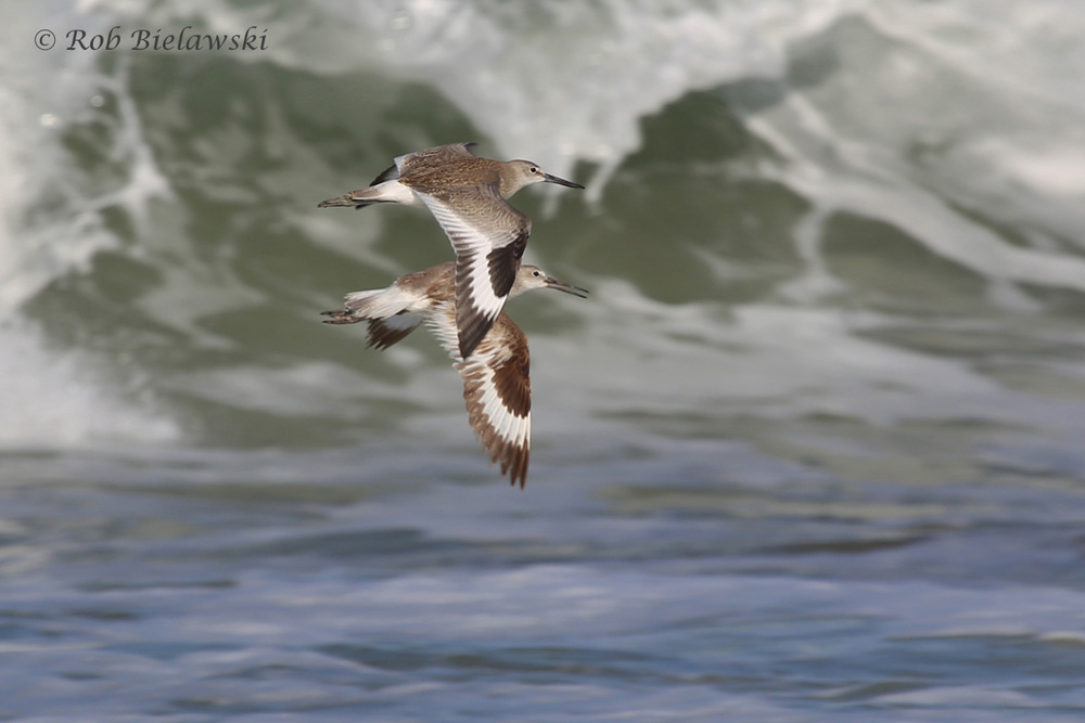 A pair of Willets in flight against the beautiful backdrop of the surging coastal wave break!