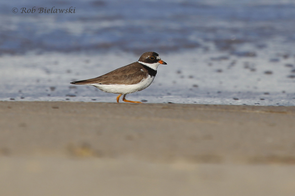 Showing up this week in better numbers, the Semipalmated Plovers have really begun to arrive at Back Bay NWR!