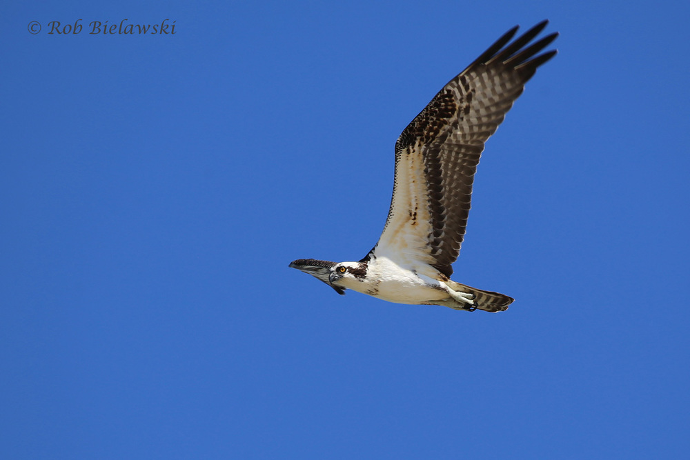 Osprey - Adult in Flight - 31 Jul 2015 - Back Bay National Wildlife Refuge, Virginia Beach, VA