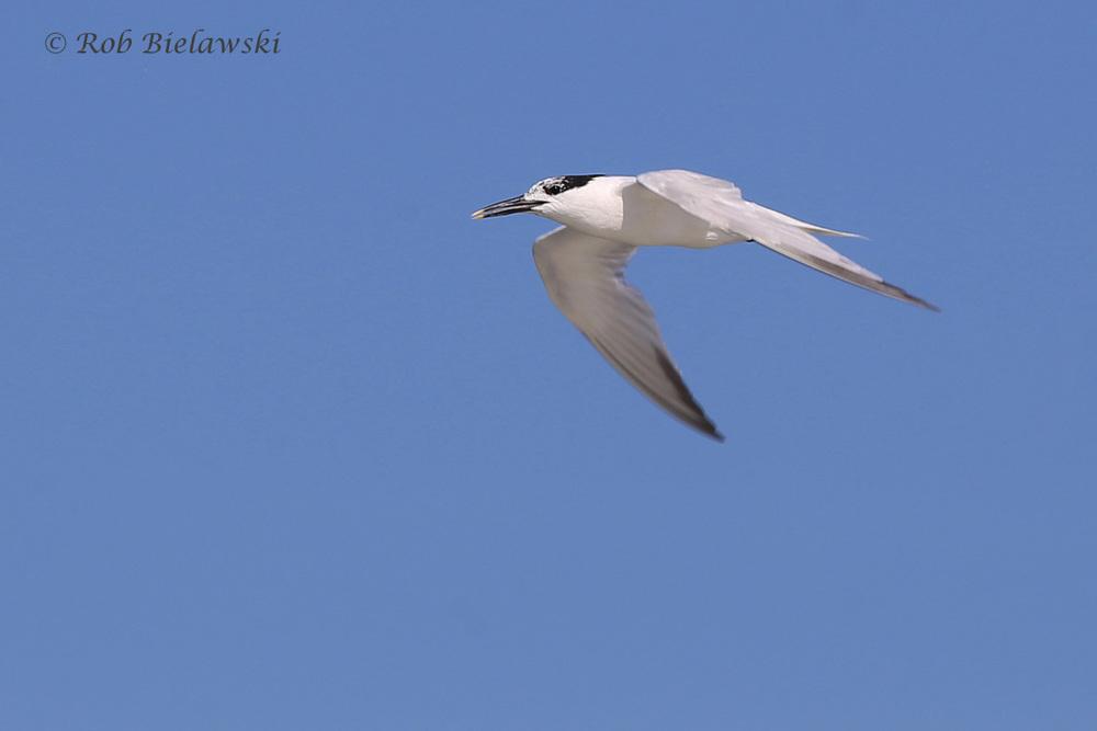 Sandwich Tern - Adult in Flight, Transitioning from Breeding to Nonbreeding Plumage - 31 Jul 2015 - Back Bay National Wildlife Refuge, Virginia Beach, VA
