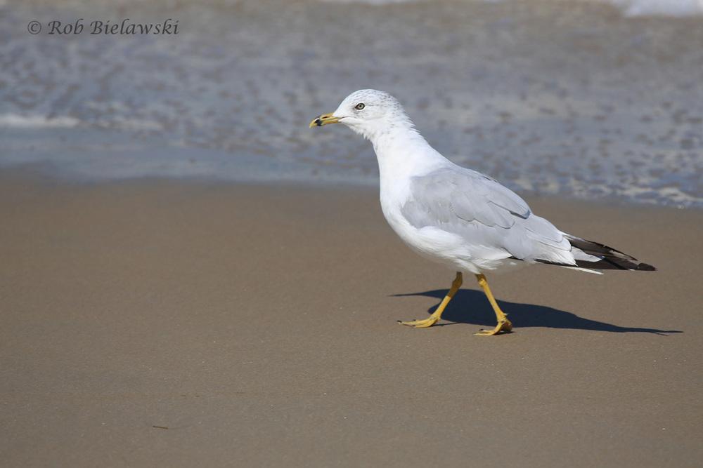 Ring-billed Gull - Transitional, Definitive Alternate to Definitive Basic Plumage - 31 Jul 2015 - Back Bay National Wildlife Refuge, Virginia Beach, VA