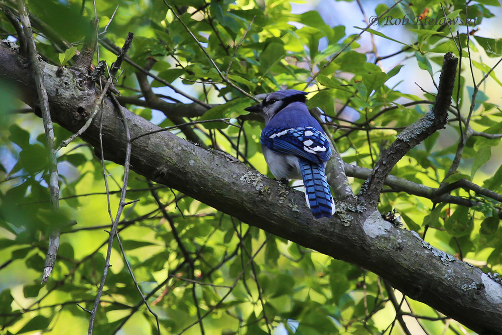 Blue Jay - Adult - 15 May 2015 - First Landing State Park, Virginia Beach, VA