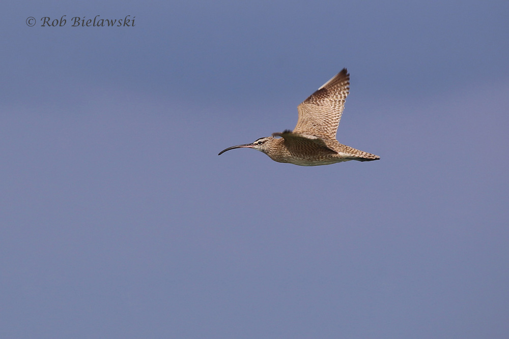 The beautiful Whimbrel, with its downcurved bill, was again sighted this week at Back Bay NWR!