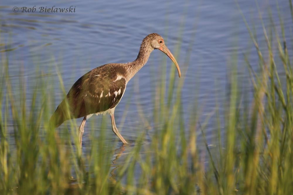 White Ibis - Juvenile - 5 Aug 2015 - Pleasure House Point Natural Area, Virginia Beach, VA