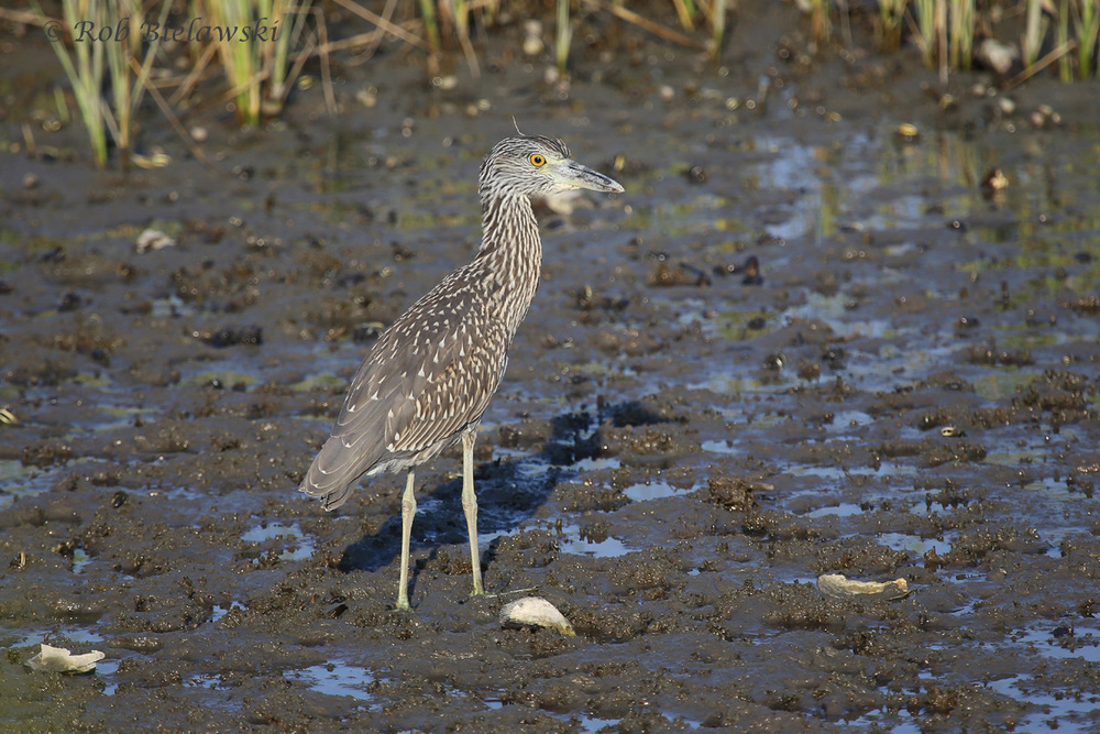 Yellow-crowned Night-Heron - Juvenile - 5 Aug 2015 - Pleasure House Point Natural Area, Virginia Beach, VA