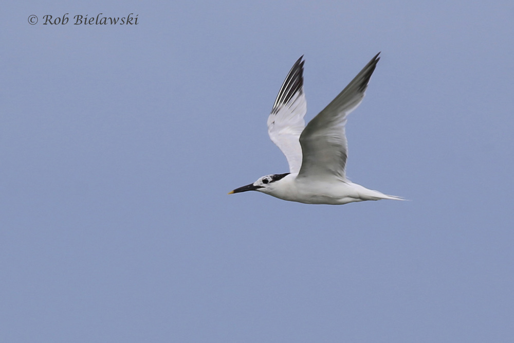 Sandwich Tern - Adult in Flight, Transitioning from Breeding to Nonbreeding Plumage - 7 Aug 2015 - Back Bay National Wildlife Refuge, Virginia Beach, VA