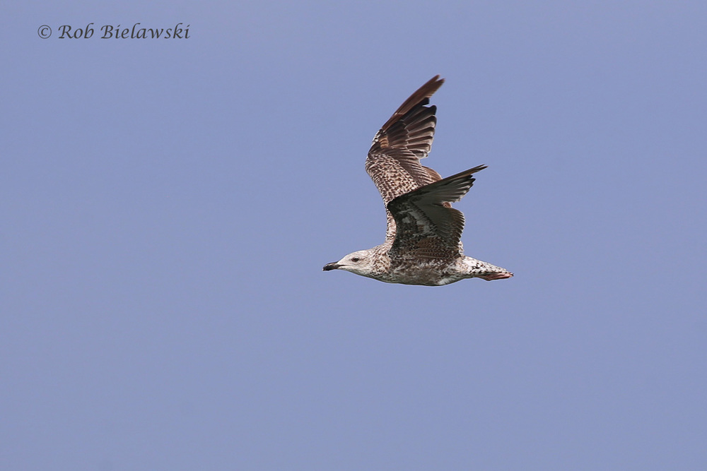 Great Black-backed Gull - Juvenal Plumage - 7 Aug 2015 - Back Bay NWR, Virginia Beach, VA