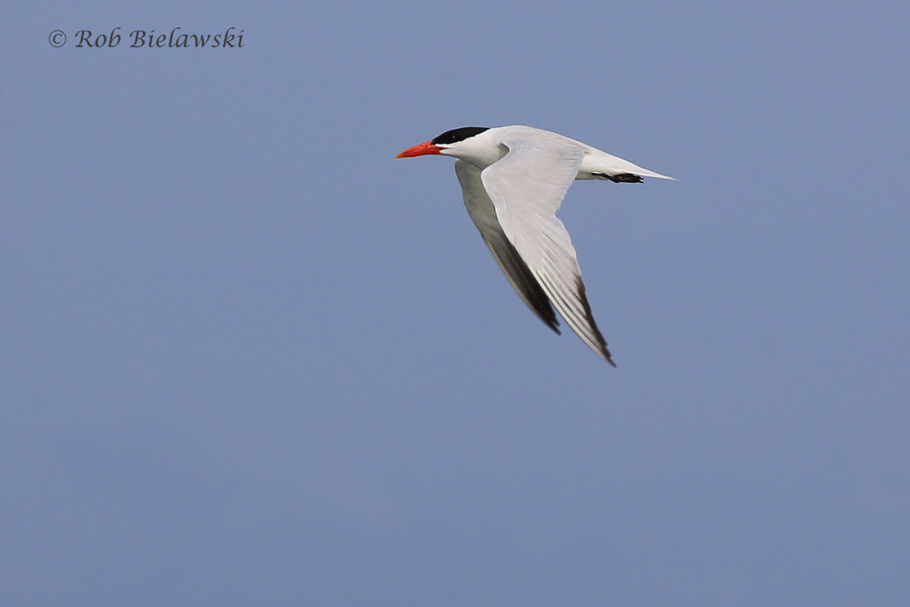 Caspian Tern - Breeding Adult in Flight - 7 Aug 2015 - Back Bay NWR, Virginia Beach, VA