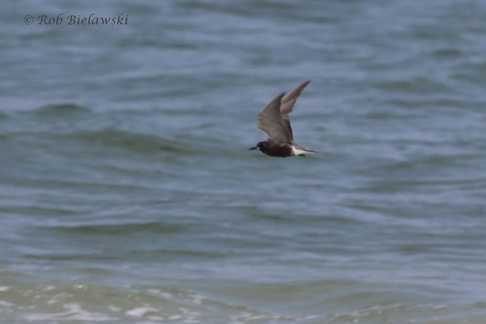 Black Tern - In-Flight Transitional, Adult Breeding to Adult Nonbreeding Plumage - 7 Aug 2015 - Back Bay NWR, Virginia Beach, VA