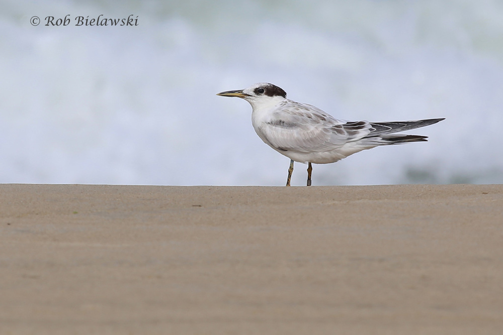 Sandwich Tern - Juvenile - 7 Aug 2015 - Back Bay NWR, Virginia Beach, VA
