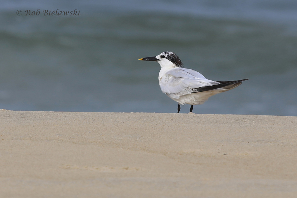 Sandwich Tern - Adult Breeding to Adult Nonbreeding Plumage - 7 Aug 2015 - Back Bay NWR, Virginia Beach, VA