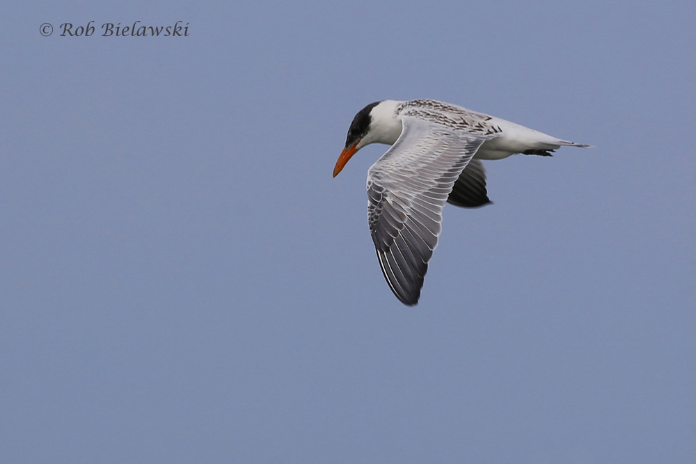 Caspian Tern - Juvenile In-Flight - 7 Aug 2015 - Back Bay NWR, Virginia Beach, VA