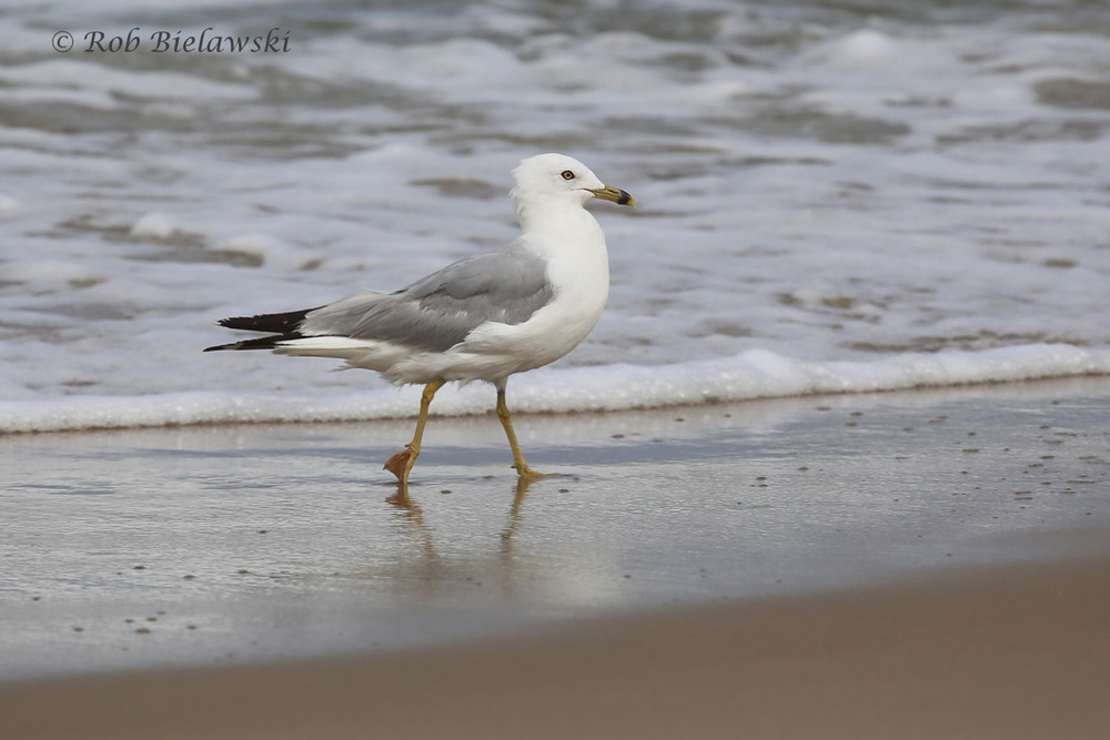 "Ring-billed Gull - Definitive Alternate Plumage (""Breeding Adult"") - 7 Aug 2015 - Back Bay NWR, Virginia Beach, VA"
