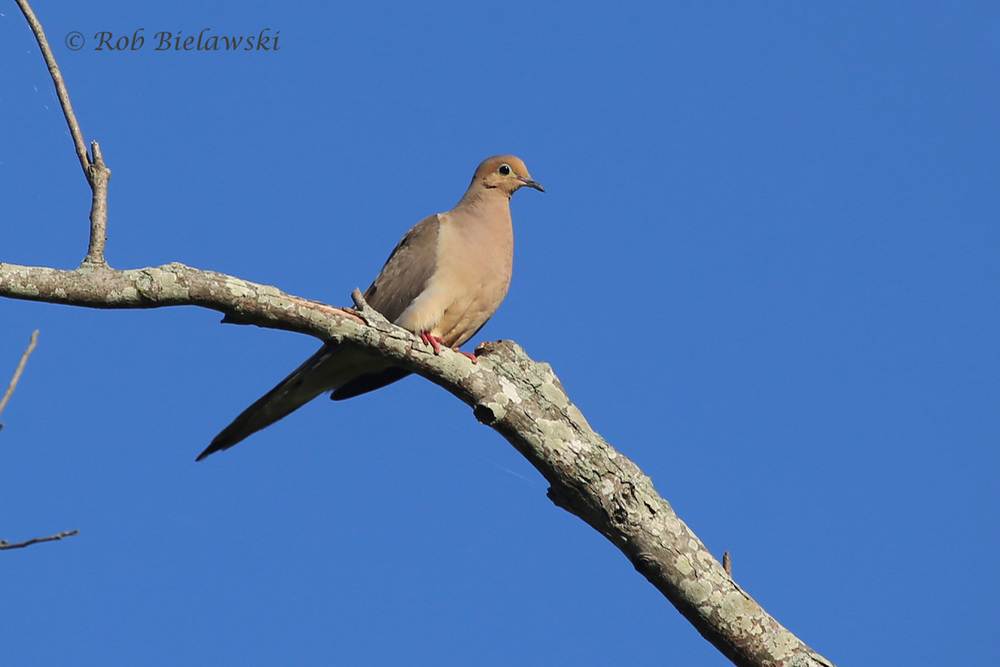 Mourning Dove - Adult Male - 7 Aug 2015 - Back Bay NWR, Virginia Beach, VA