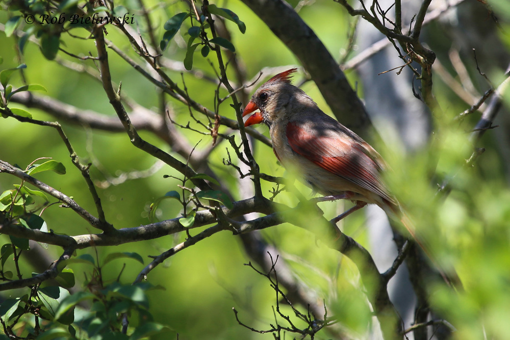 Northern Cardinal - Adult Female - 9 Aug 2015 - Pleasure House Point Natural Area, Virginia Beach, VA