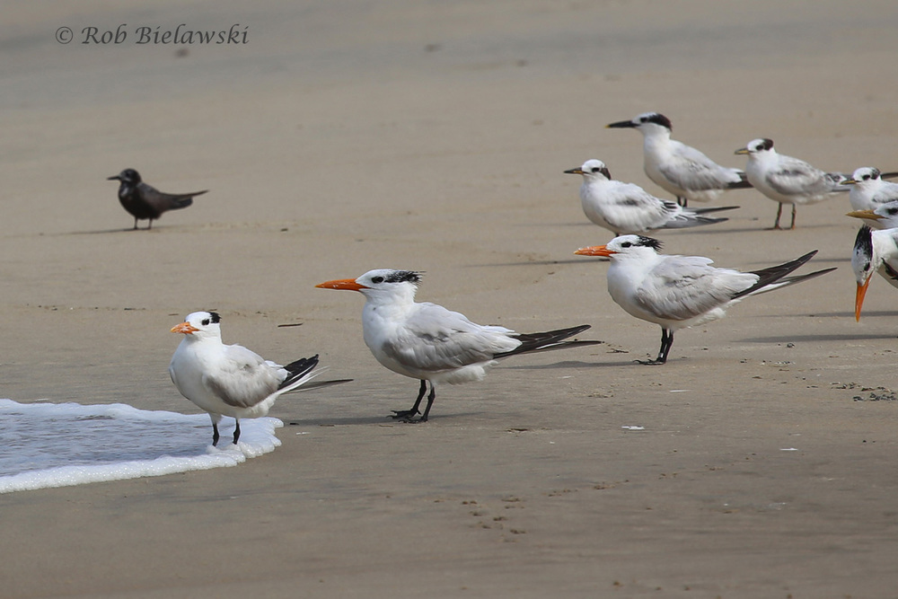 Sandwich Terns (Back Right) with Royal Terns (Front) and Black Tern (Back Left) - 7 Aug 2015 - Back Bay NWR, Virginia Beach, VA
