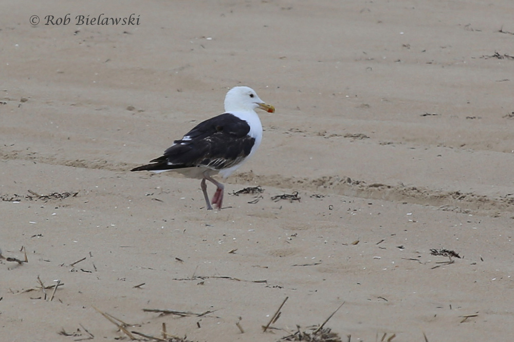 Great Black-backed Gull - Transitional, Definitive Alternate to Definitive Basic Plumage - 7 Aug 2015 - Back Bay NWR, Virginia Beach, VA