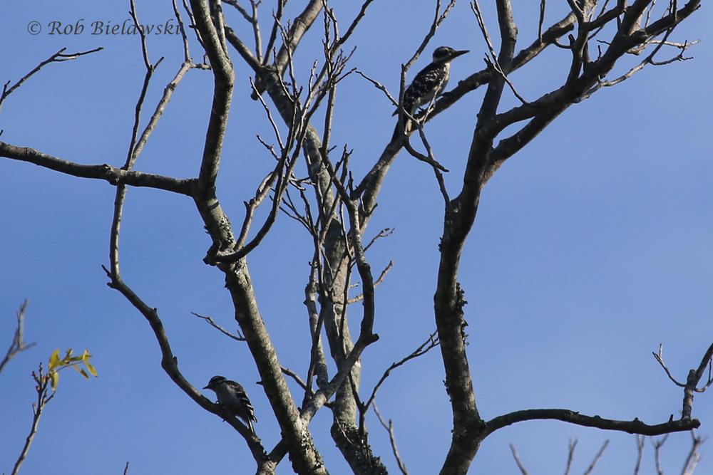 Downy Woodpecker & Hairy Woodpecker