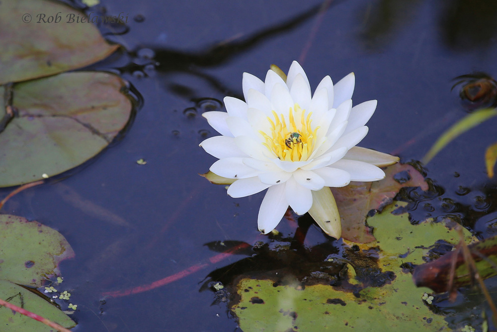 American Waterlily
