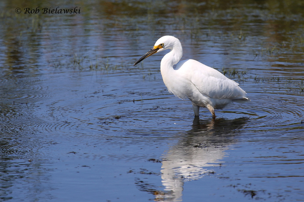 A young Snowy Egret seen near the parking area at Back Bay NWR!