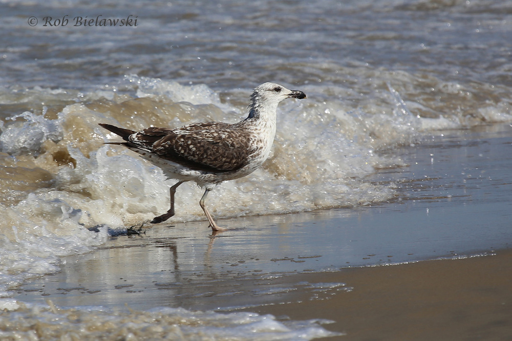 Run away! A Great Black-backed Gull being chased by the waves at Back Bay!