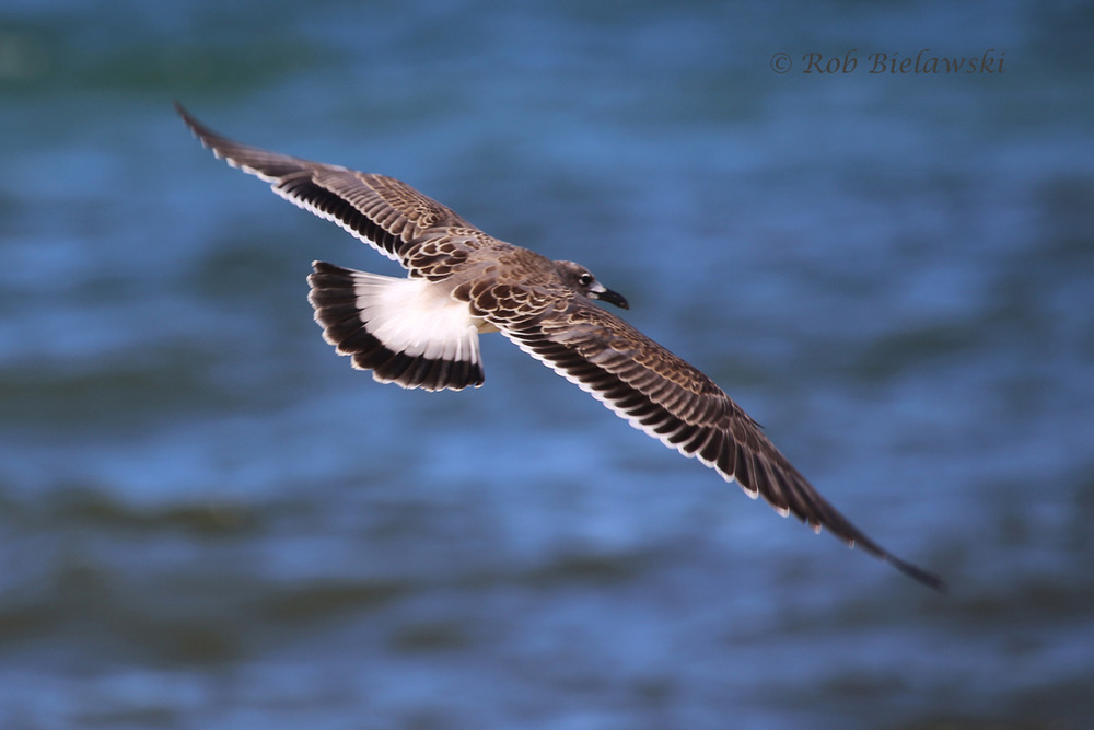 Loads of juvenile Laughing Gulls were sighted this week!