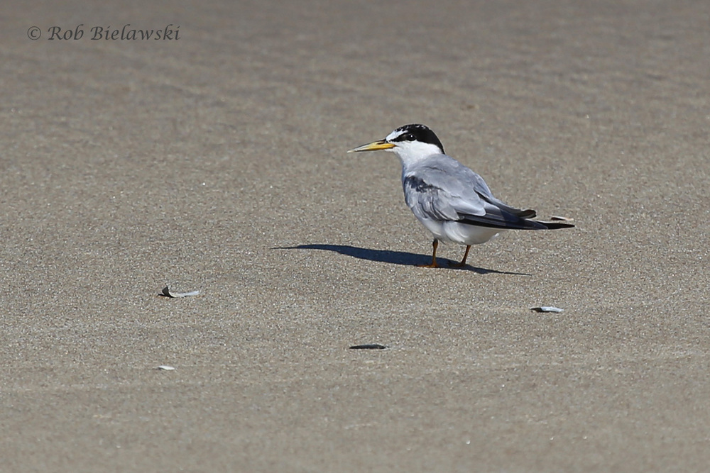 A Least Tern transitioning from breeding to nonbreeding plumage!