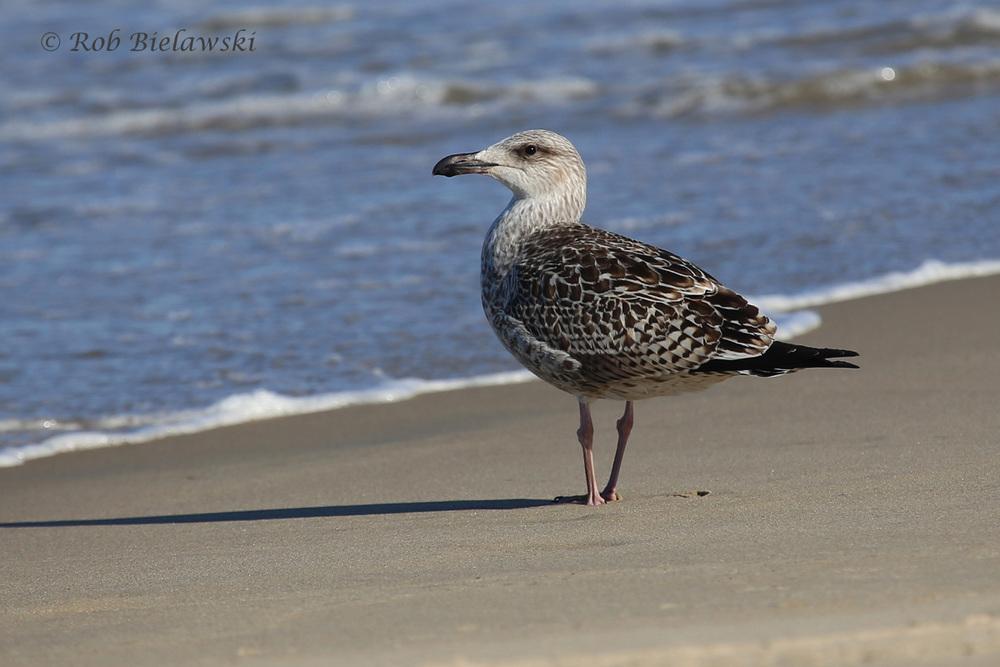 14 Aug 2015 - Back Bay NWR, Virginia Beach, VA