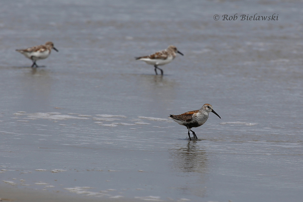 Dunlin (Bottom) with Sanderlings (Top) - 16 May 2015 - Back Bay NWR, Virginia Beach, VA