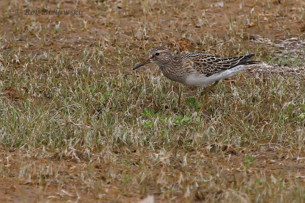 Species #186 in Virginia Beach this year! The Pectoral Sandpiper!