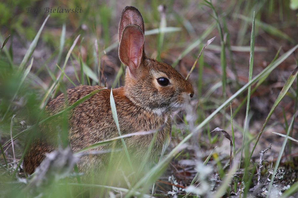 An Eastern Cottontail seen at Back Bay NWR on Friday!