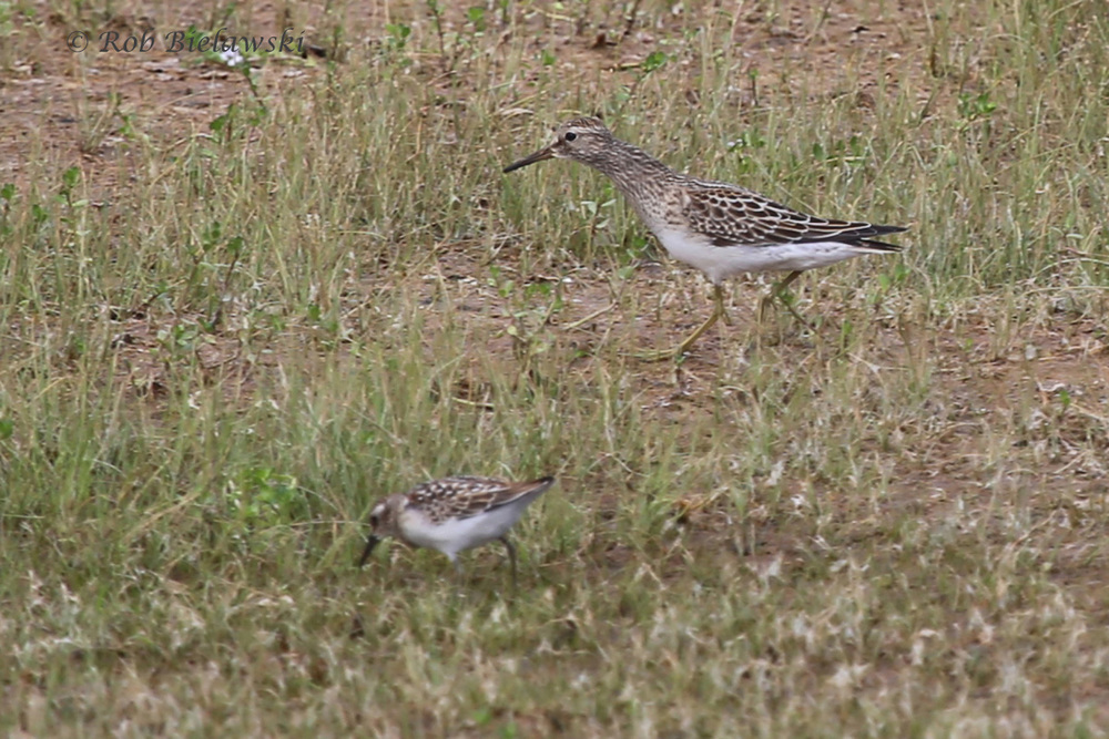 Pectoral Sandpiper (top) with Least Sandpiper (bottom) - 21 Aug 2015 - Back Bay NWR, Virginia Beach, VA