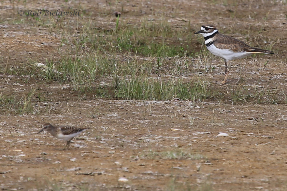 Killdeer (top right) with Least Sandpiper (lower left) - 21 Aug 2015 - Back Bay NWR, Virginia Beach, VA