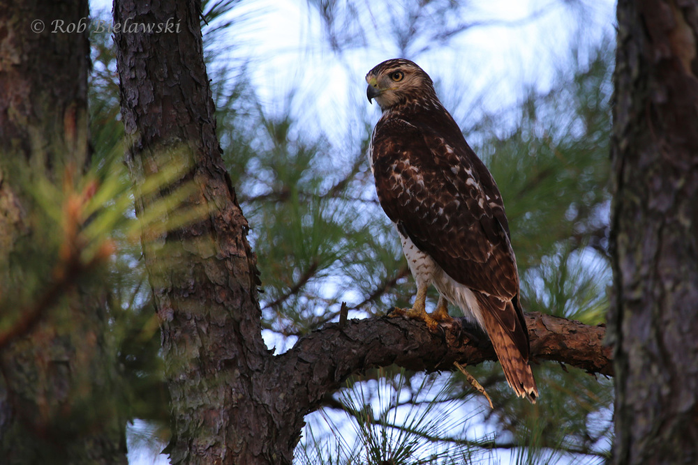 A juvenile Red-tailed Hawk seen at Pleasure House Point!