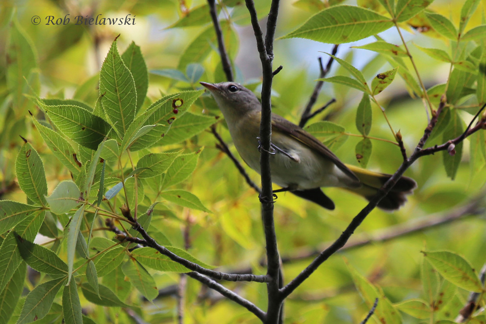 The American Redstarts are showing up all over the region right now!
