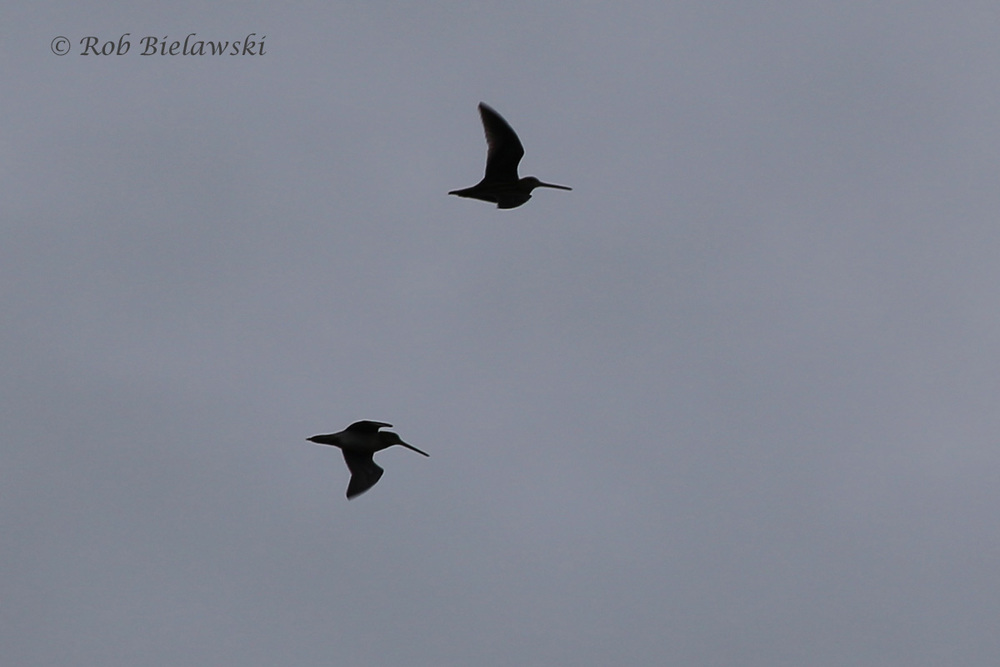 Short/Long-billed Dowitchers