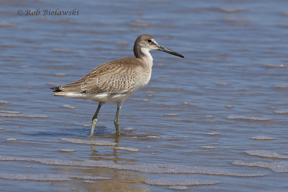 A juvenile Willet feeds along the shore at Back Bay on Labor Day!