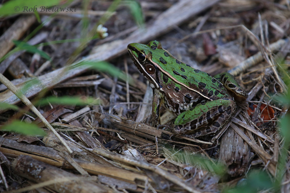 A sneaky Southern Leopard Frog sighted at the west end of the Bay Trail!