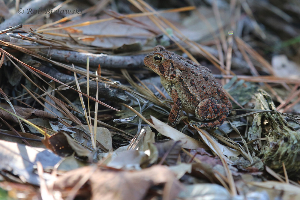 One of several Fowler's Toads that were spotted on the Osprey Trail at First Landing State Park!