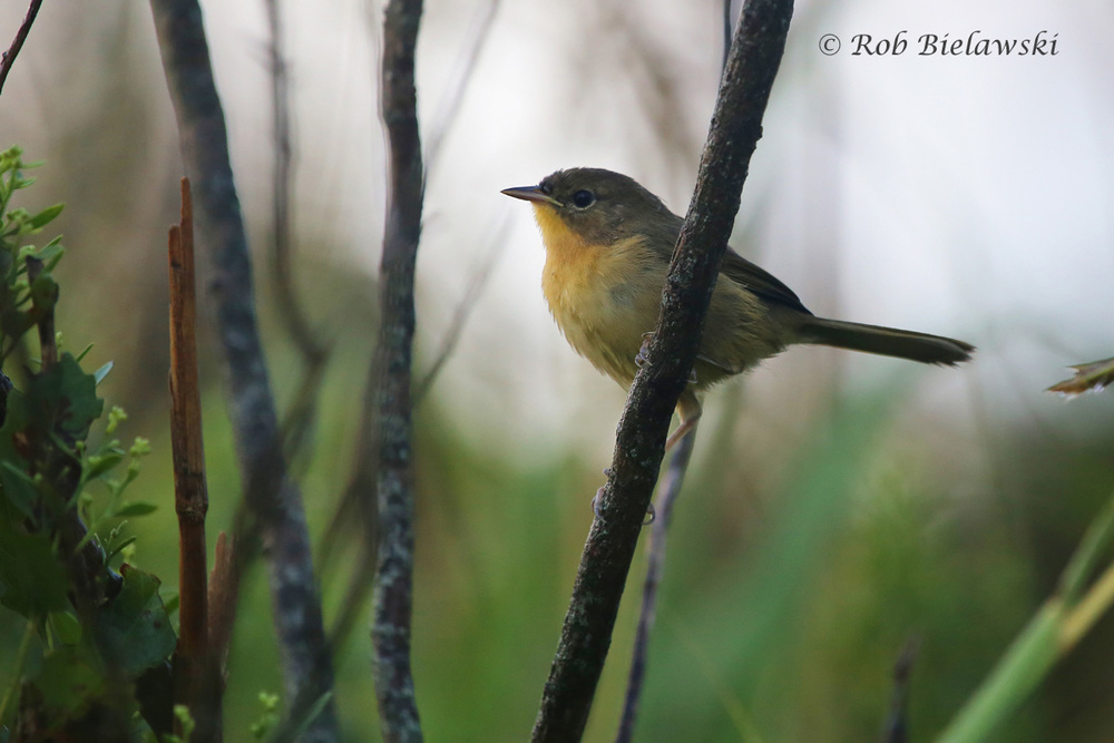 A beautifully colored Common Yellowthroat that arrived after the heavy rains on Saturday morning at Back Bay!