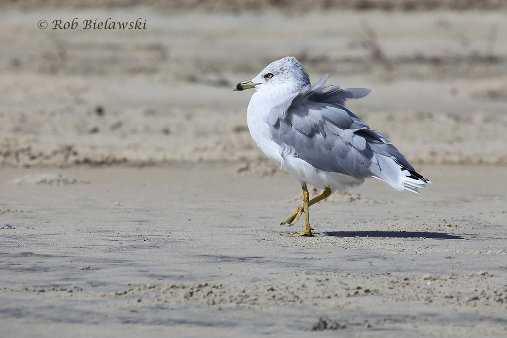 7 Sep 2015 - Back Bay NWR, Virginia Beach, VA