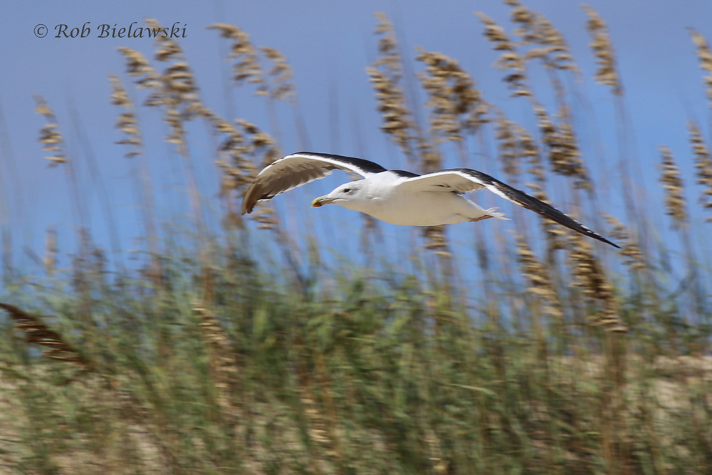 7 Sep 2015 - Back Bay NWR, Virginia Beach, VA