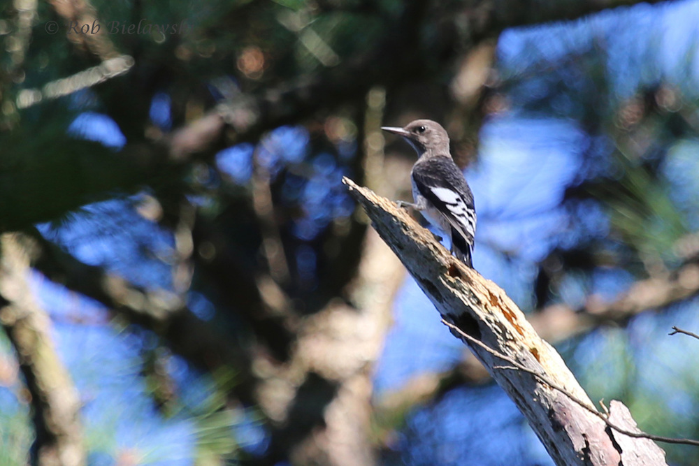 One of several juvenile Red-headed Woodpeckers seen at Kiptopeke State Park along the Brown Pelican Trail.
