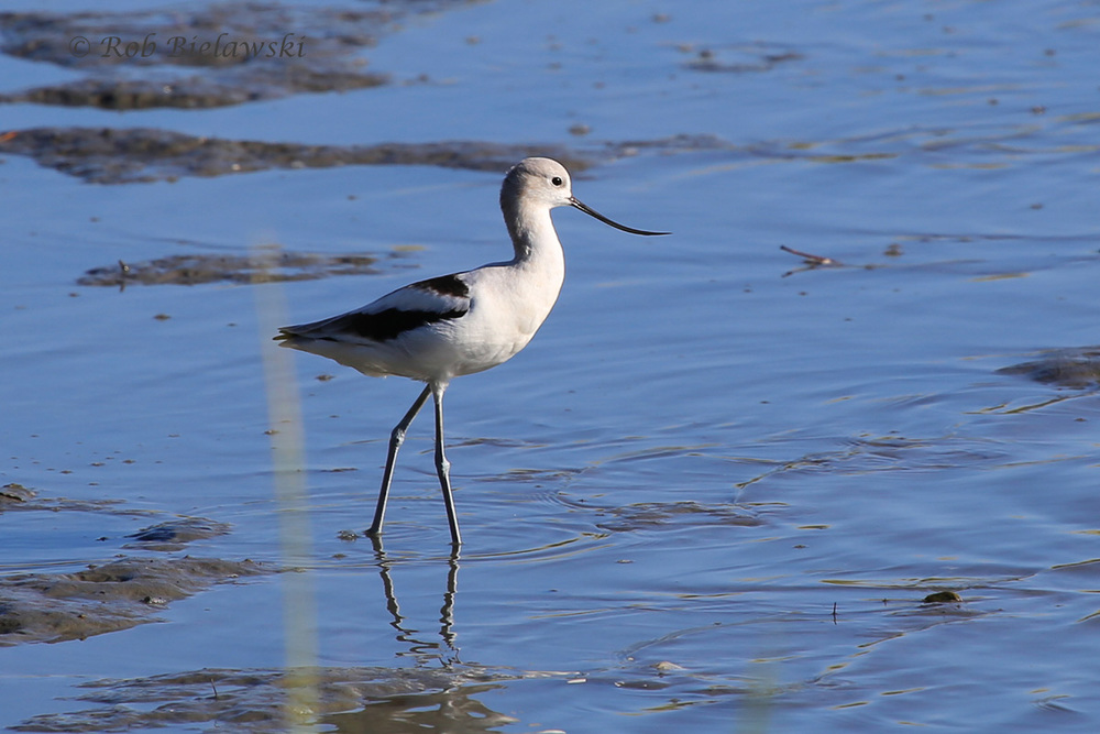 Virginia Beach year bird #192, the American Avocet spotted at Pleasure House Point Natural Area!