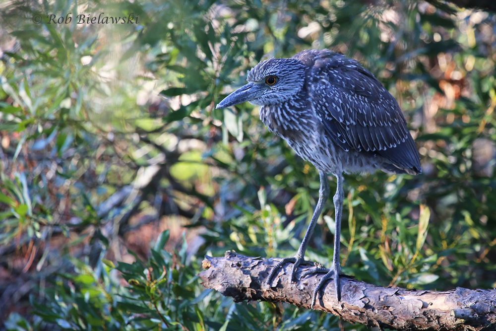 It won't be too much longer before these Yellow-crowned Night-Herons move further south for the winter!
