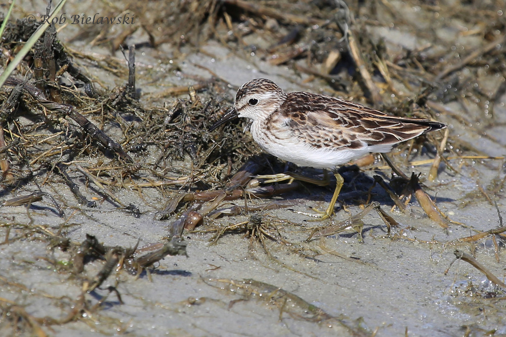A Least Sandpiper that came right up to me on the main point's beach at Pleasure House Point!