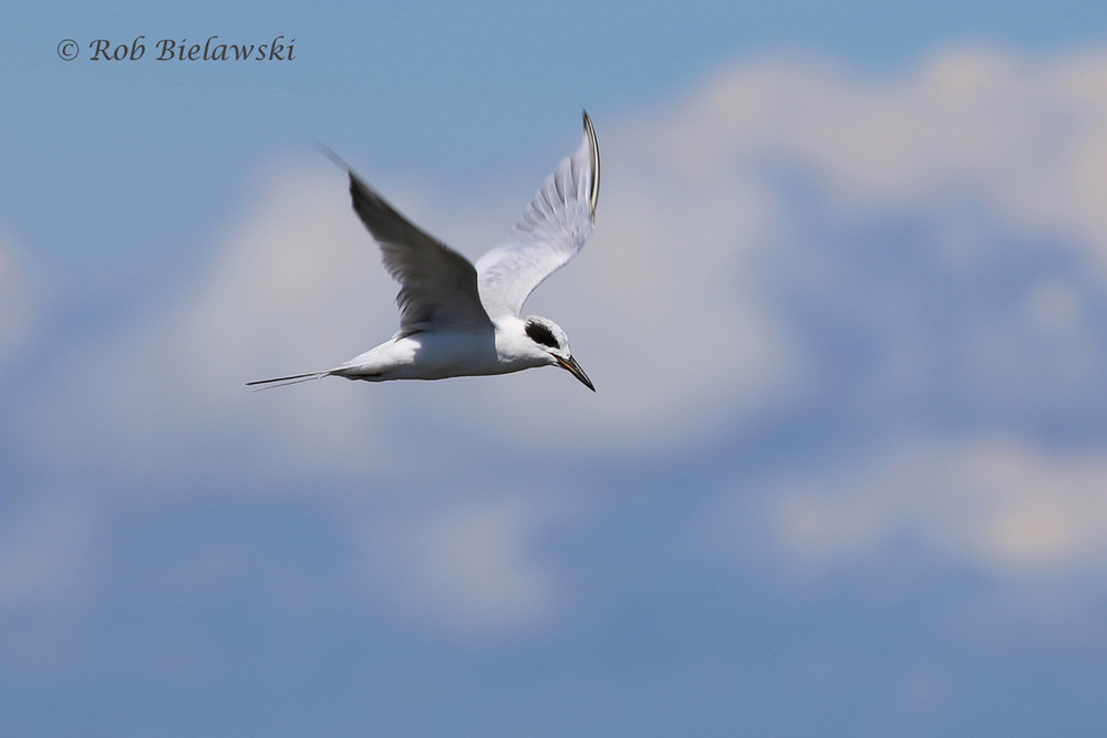 FORSTER'S TERNS ARE SHOWING THEIR WINTER PLUMAGE ALREADY!