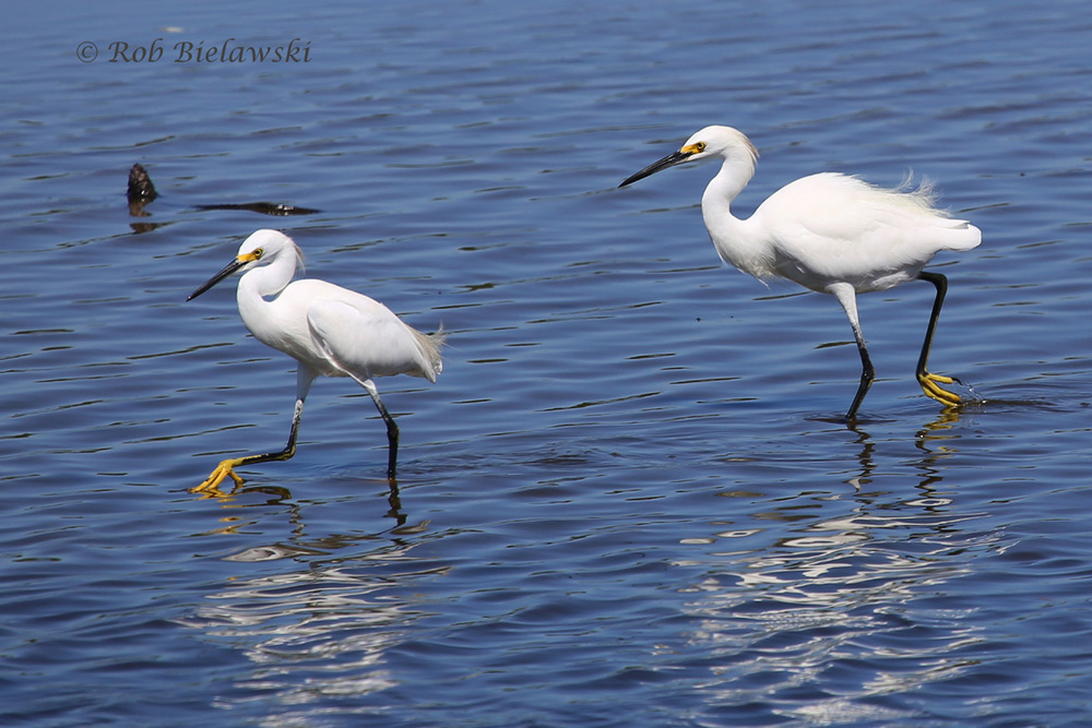 A PAIR OF SNOWY EGRETS ACTIVELY FEEDING IN SWAN COVE POOL AT CHINCOTEAGUE NWR!