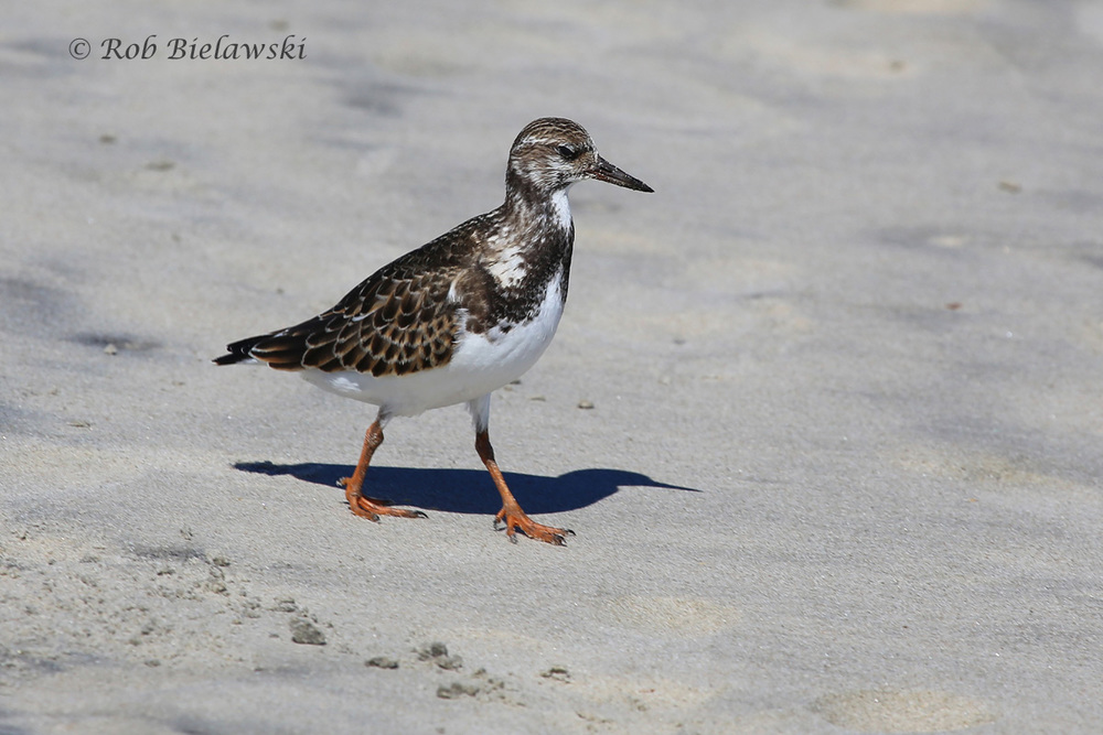 SEEN AMONGST THE CROWDS OF BEACH-GOERS, THIS WAS THE FIRST RUDDY TURNSTONE ON THE DAY!